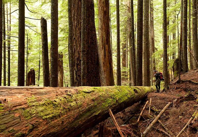 A large tree and a hiker on hiking trails in Powell River