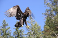 A Juvenile Bald Eagle taking off near the resort in Desolation Sound, one of the best Desolation Sound experiences
