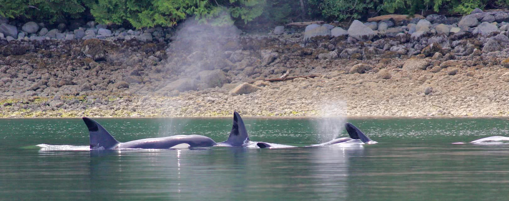 A pod of orcas spotted by guests on a guided kayak package to the eco resort