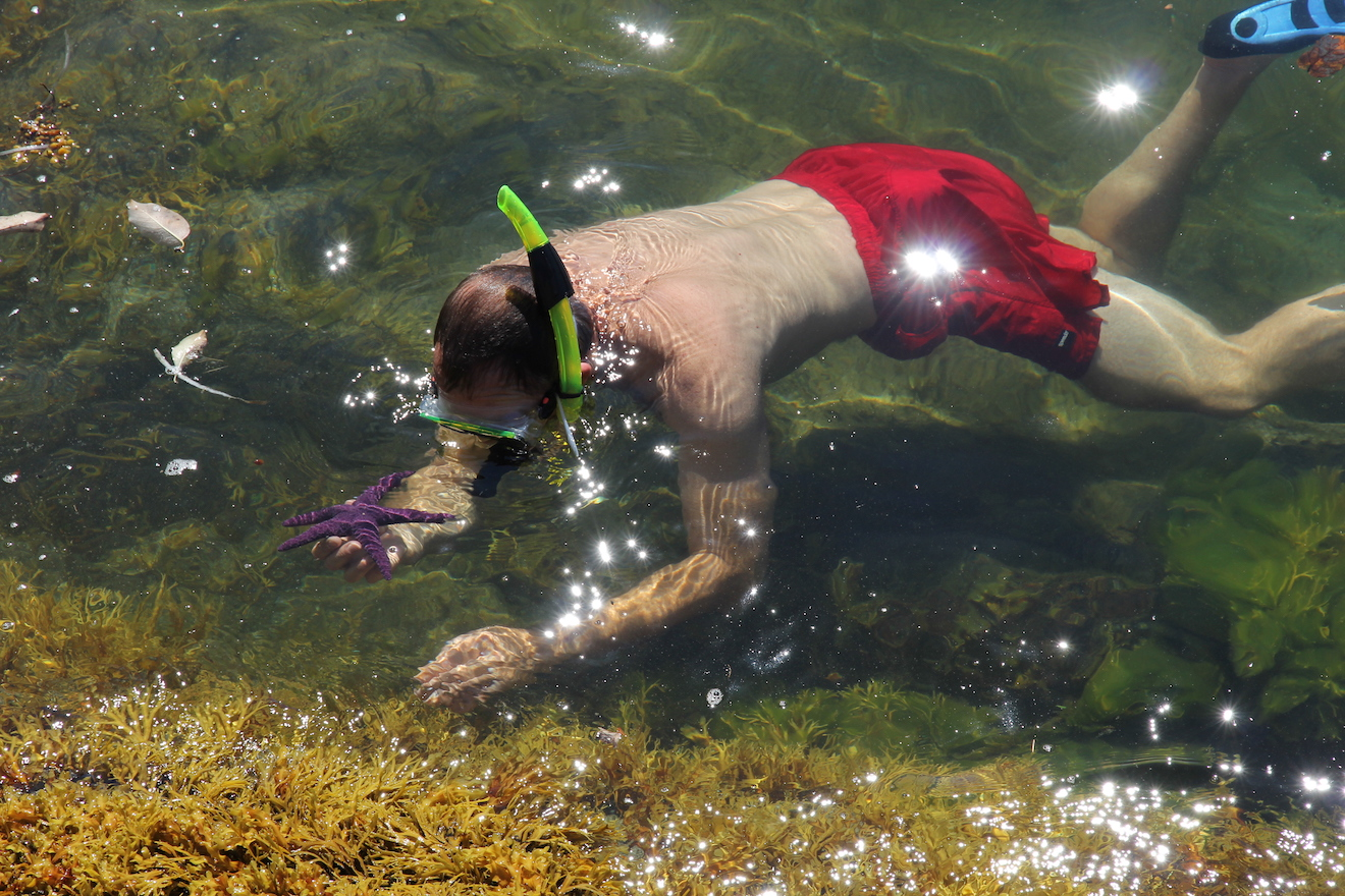 A man snorkeling in Desolation Sound picks up a purple sea star