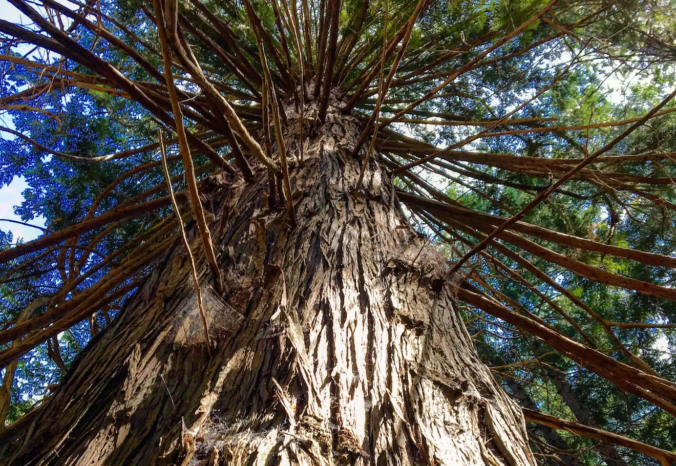 A huge cedar tree found on Kinghorn Island in Desolation Sound