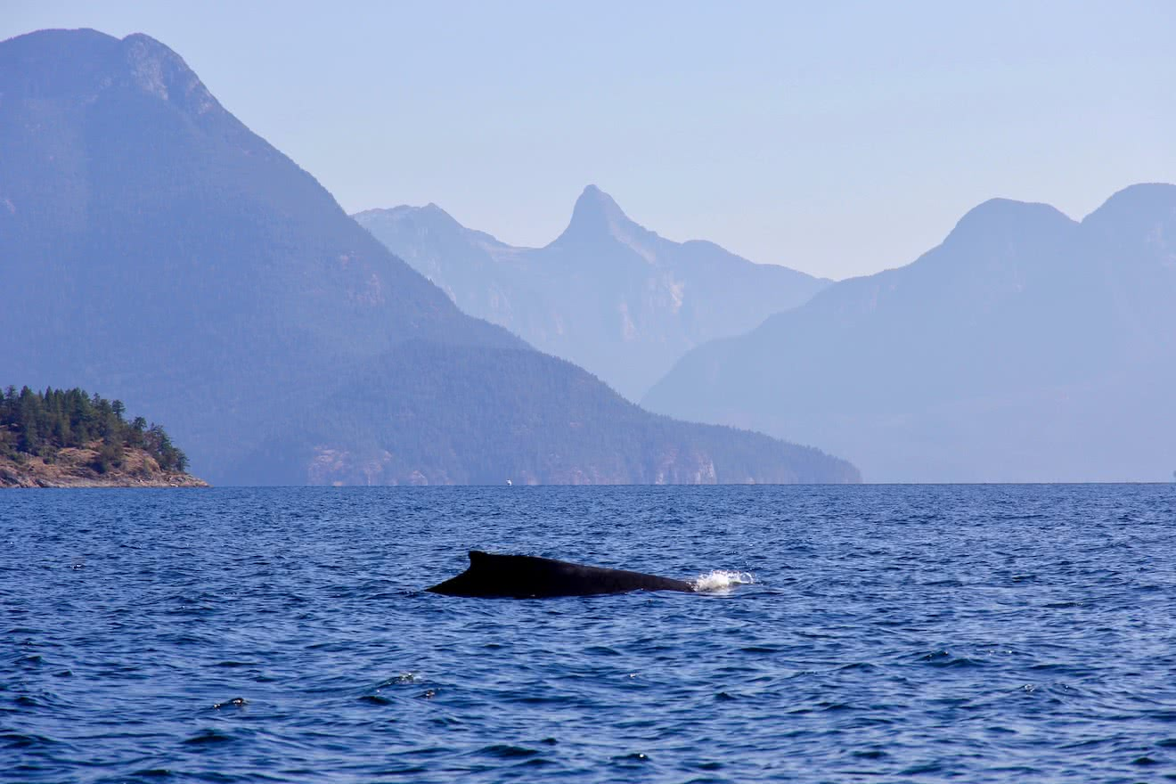 A Humpback whale, the largest of the Desolation Sound wildlife - comes up for air with Mt Denman in the background
