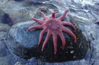 A sunflower star on a rock just above the water in Desolation Sound
