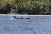 Two transient orcas in Malaspina Inlet in Desolation Sound