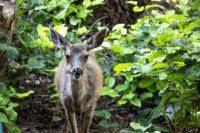 One of the resident deer on Kinghorn Island in Desolation Sound