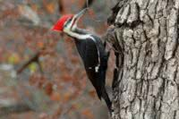 A pileated woodpecker in a forest