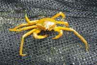 A Spider Crab - aka a Shield Backed Kelp Crab