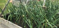 Garlic growing at our Okeover base for use in all our tours and resort packages