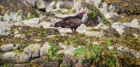 A turkey vulture standing below the high tide line