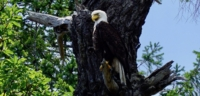 A bald eagle perched in a dead tree