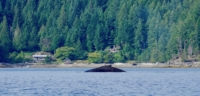 A humpback whale coming up for air in Desolation Sound